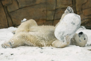Sakari the polar bear frolics in his first snowfall in the Arctic Passsage exhibit at the Vilas Zoo on Nov. 21, 2015. We have now entered the season in which snow is possible, but it isn't until Nov. 15 that the chances that precipitation will be snow is equal to the chances it will be rain. (Photo credit: Amber Arnold, State Journal)