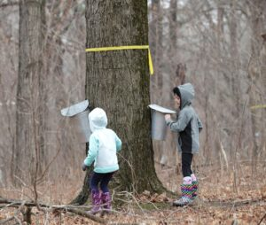 Leah Salsano, right, and her sister, Kira, of Poynette, check the buckets attached to maple trees that are tapped for sap at the MacKenzie Center. In Wisconsin, March is a prime month for tapping sugar maple trees, and this is when the sap is sweetest. (Photo credit:  Amber Arnold, State Journal)